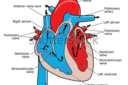 Interior heart dissection full hd maps locations another world of sheep heart labeled diagram of a sheep heart tag labeled diagram of a sheep heart anatomy interior view kind of letters heart anatomy interior view ccuart Images