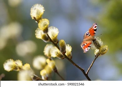 Willow Branches Stock Images Royalty Free Images Amp Vectors Shutterstock