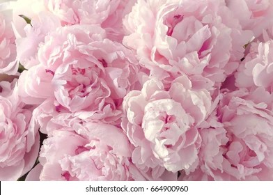 Peony Images  Stock Photos   Vectors   Shutterstock Beautiful flowers  peonies  Bouquet of pink peony background