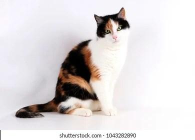 Tricolor Cat Images, Stock Photos & Vectors | Shutterstock