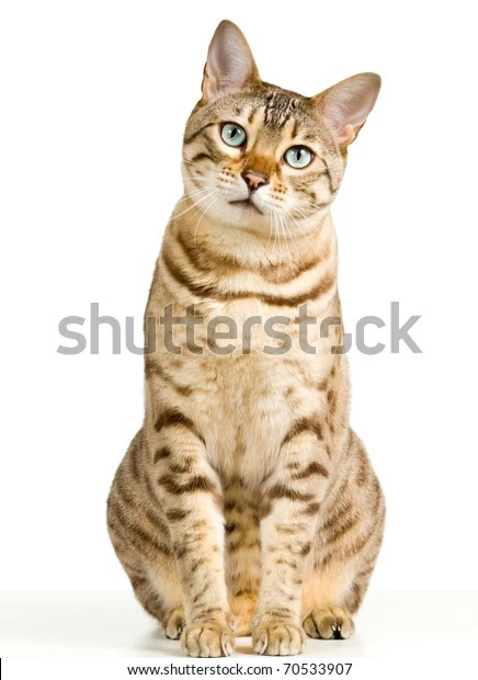 Bengal kitten or cat with a plaintive expression isolated against white background