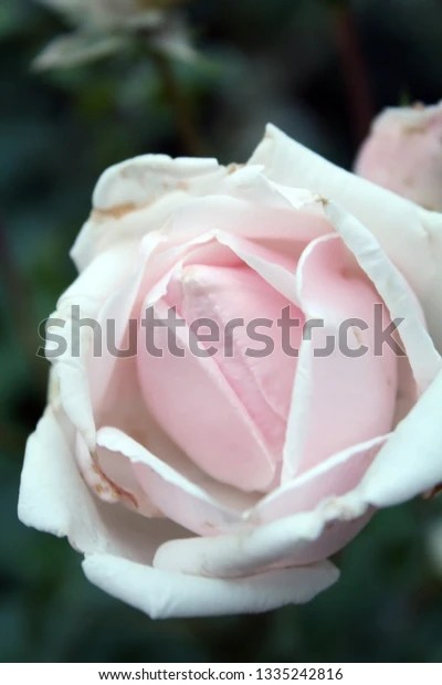blooming soft pink rose bloom with blurred background