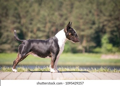 English Bull Terrier Images Stock Photos Vectors Shutterstock