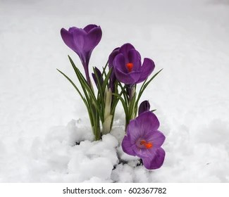 Snow flowers Images  Stock Photos   Vectors   Shutterstock Crocus flowers in the snow