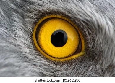 Eagle Eye Close Up Macro Photo Eye Of The Male Northern Harrier