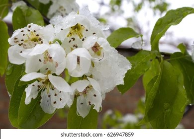Snow flowers Images  Stock Photos   Vectors   Shutterstock Flowers in the snow