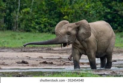 Elephas maximus (asian elephants, loxodonta africana (african savanna el. African Forest Elephant Images Stock Photos Vectors Shutterstock
