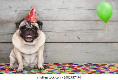 https www shutterstock com image photo frolic smiling birthday party pug dog 1401957494
