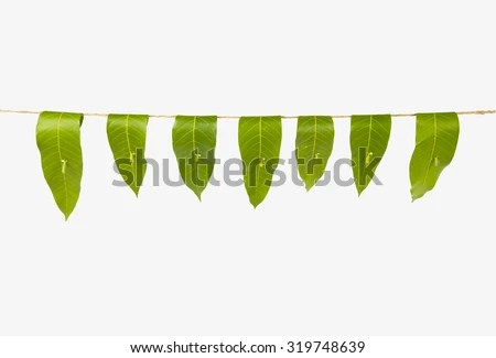 Garland Of Mango Leaves Toran It Is Auious In Hindu Religion And As