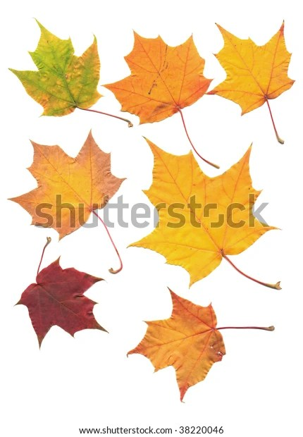 Golden Maple Tree Leaf Isolated On Stock Photo (Edit Now) 38220046