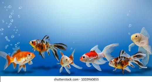 https www shutterstock com image photo goldfish collage on blue background different 1033960855