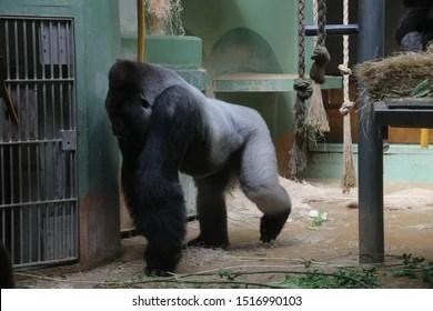 gorilla named bokito rotterdam blijdorp