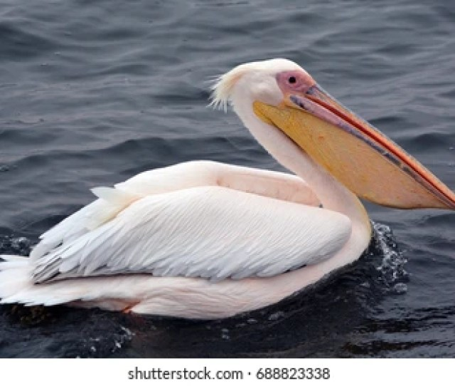 Pelicans Images Stock Photos Vectors Shutterstock