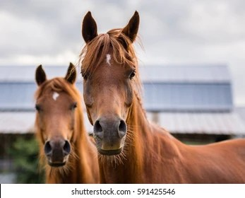Horse Face Images Stock Photos Vectors Shutterstock