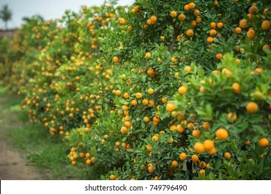 Kumquat Tree Images  Stock Photos   Vectors   Shutterstock Kumquat tree  Together with Peach blossom tree  Kumquat is one of 2 must  have