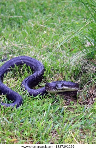 large black snake in the grass coiled up and ready to strike
