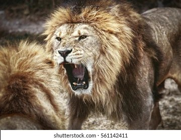 Africa Male Lions Fighting Images Stock Photos Vectors Shutterstock
