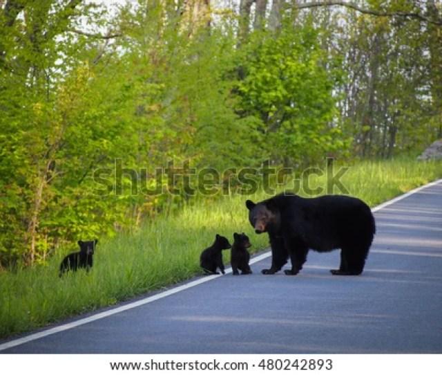 Mother Bear And Her Cubs Shenandoah National Park