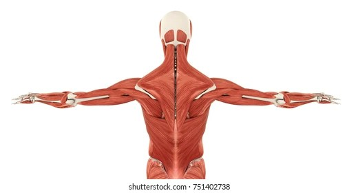 Muscle Anatomy Images, Stock Photos & Vectors