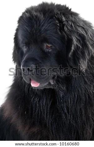 Newfoundland Dog Stock Photo (Edit Now) 10160680 - Shutterstock