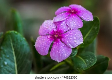 Image result for periwinkle flower