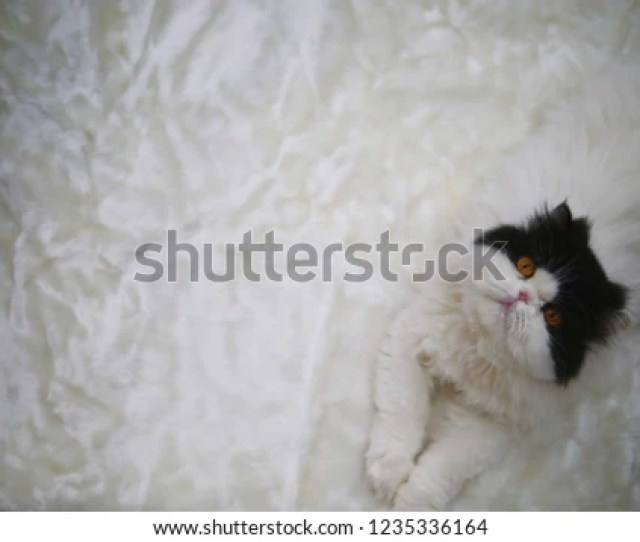 Persian Catvan Catadorable White And Black Fluffy Hair With Little Pink Nose