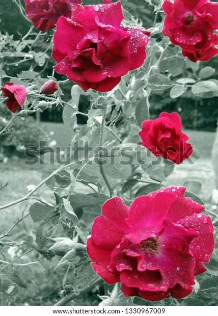 red roses with black and white background