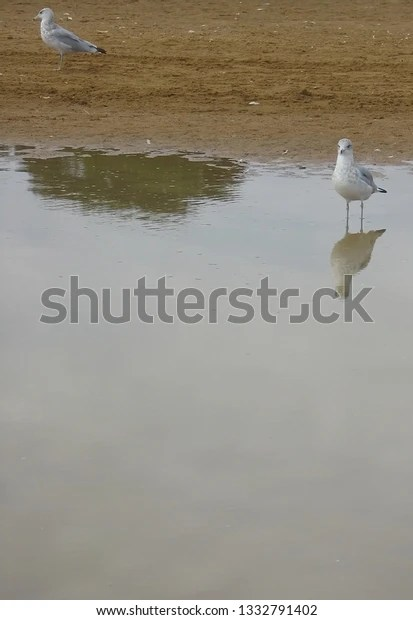 seagull standing in water with reflections