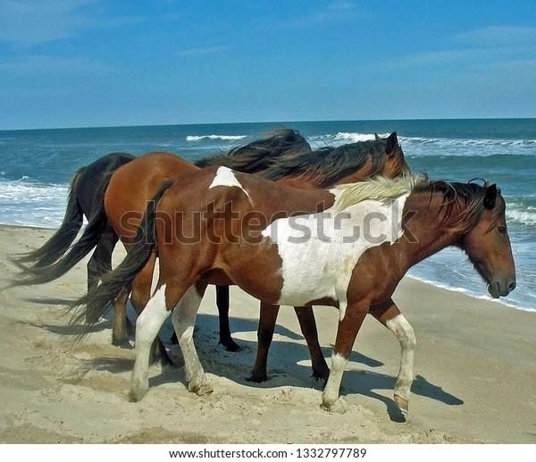 three wild ponies on Assateague Island in the summer