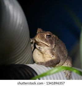 toad resting on plastic tubing at night with blade of grass in the foreground