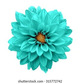 Turquoise Flower Images  Stock Photos   Vectors  10  Off    Shutterstock Turquoise flower dahlia macro isolated on white