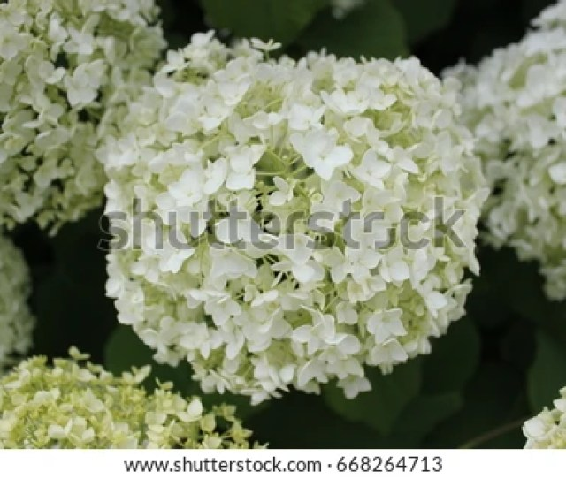 White Hortenisa Annabelle Flowerhydrangea Arborescens