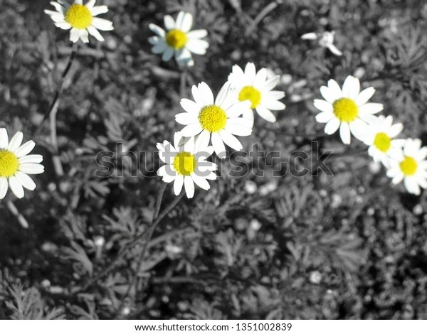 white and yellow daisies with black and white background