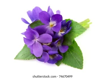 Violet Flower Images  Stock Photos   Vectors   Shutterstock Wood violets flowers close up