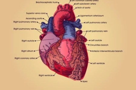 Interior detailed diagram of heart full hd pictures 4k ultra off heart anatomy cross section diagram heart anatomy anatomy and physiology heart valve structure and function science homework a detailed diagram of a ccuart Choice Image