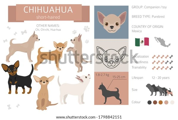 https www shutterstock com fr image vector chihuahua short coated dog isolated on 1798842151