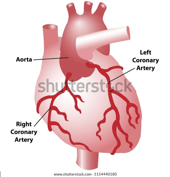 Coronary Arteries Heart Anterior View Including Stock Vector (Royalty Free) 1154440180