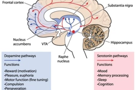 Interior brain area nuclei full hd maps locations another world fem topic brain anatomy ppt download a region of the forebrain surrounding the third ventricle the most important structures include the thalamus and the ccuart Image collections