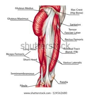 Didactic Board Anatomy Leg Human Muscular Stock Vector