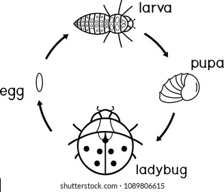 Ladybug Life Cycle Images Stock Photos Vectors Shutterstock