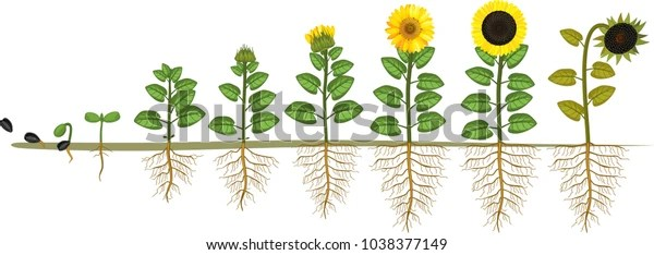 Sunflower Life Cycle Growth Stages Seed Stock Vector Royalty Free 1038377149