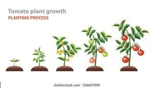 Tomato Plantation Stock Images, RoyaltyFree Images & Vectors | Shutterstock