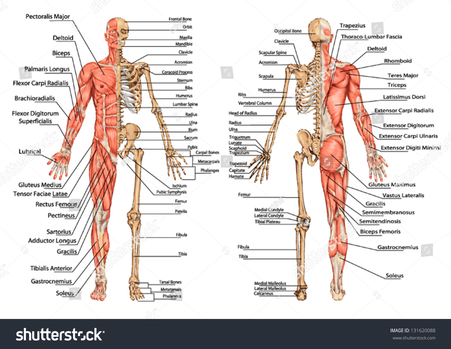 Human Skeleton From The Posterior And Stock Photo