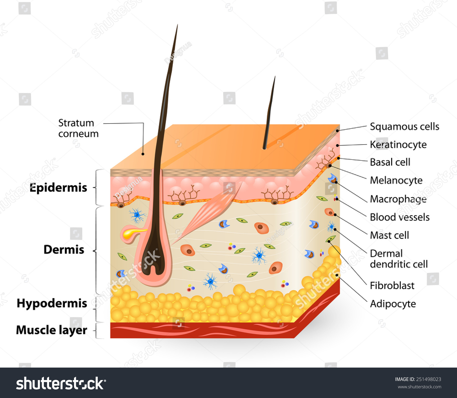 Structure Of The Human Skin Anatomy Stock Photo