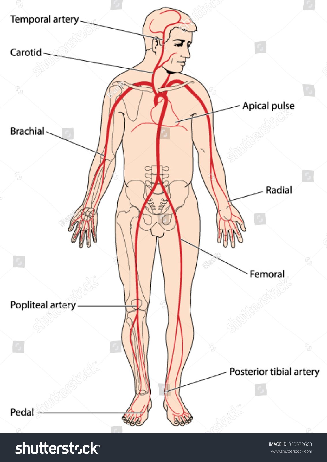 The Major Arteries And Pulse Points Of Stock Photo