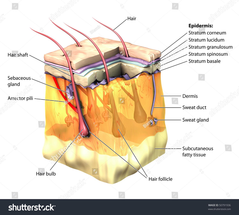 3d Skin Oblique Cut Away Epidermis Stock Illustration