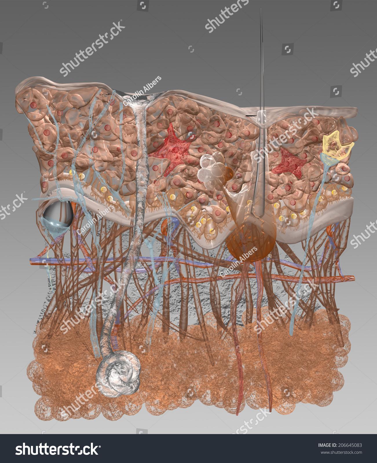 Stylized Visualization Cross Section Skin Stock