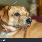 Cute Little Maltesebeagleshih Tzu Mix Puppy Stock Photo Edit Now 1172501002
