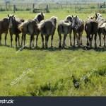 Line Work Horses Farm Field Stock Photo Edit Now 1864443