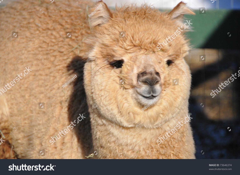 Alpaca Stock Photo 73646374 : Shutterstock